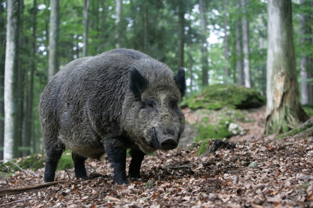 wild boar accommodation